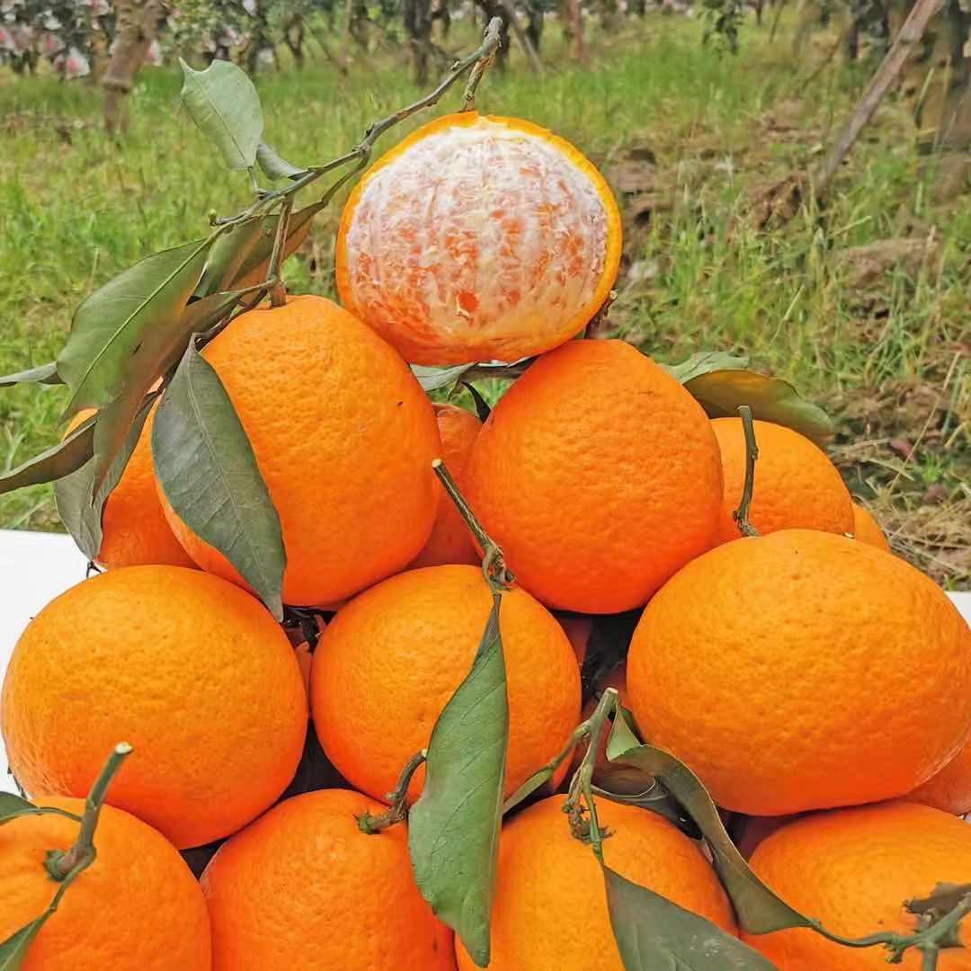 四川青见果冻橙柑橘现摘