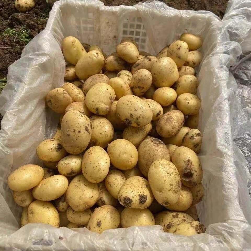 云南曲靖土豆 5/10斤装新鲜土豆马铃薯