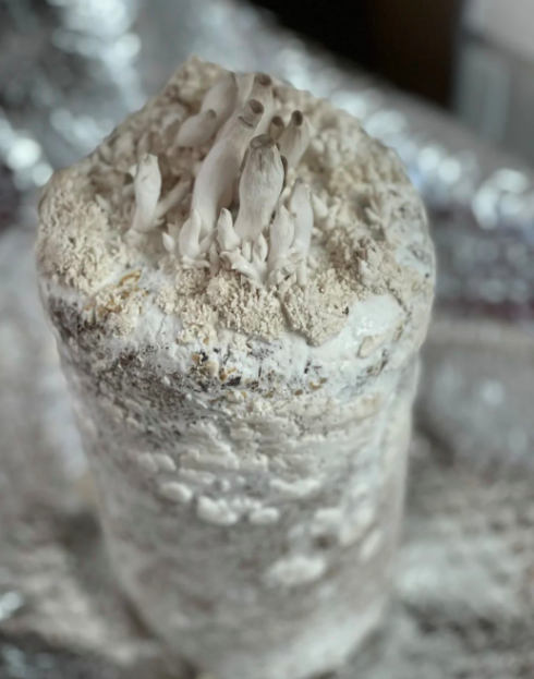 家庭阳台蘑菇菌包平菇菌包菌种种植