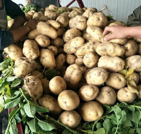 新鲜现挖大土豆批发白心土豆3斤
