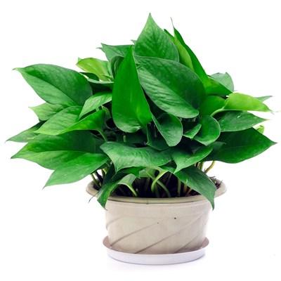 绿萝盆栽室内办公室净化空气吸甲醛花卉水培大叶长藤绿萝盆景
