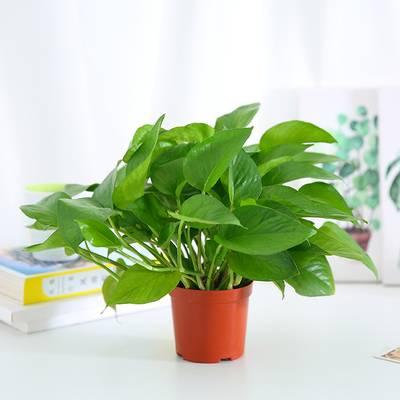 绿萝盆栽室内净化空气吸甲醛吸水懒人盆水培植物长藤垂吊绿萝批发