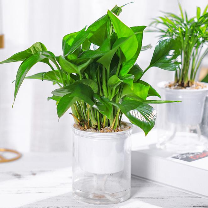 绿萝盆栽室内新房净化空气吸甲醛水培花卉绿植好养办公室客厅绿植